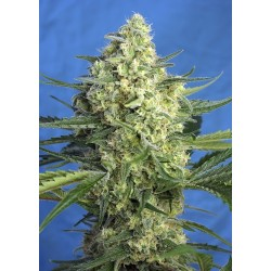 Sweet Seeds Jack 47 XL Auto...