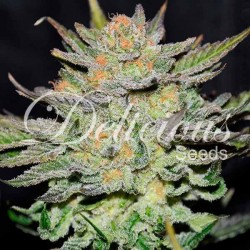 Delicious Seeds Blue Ace...